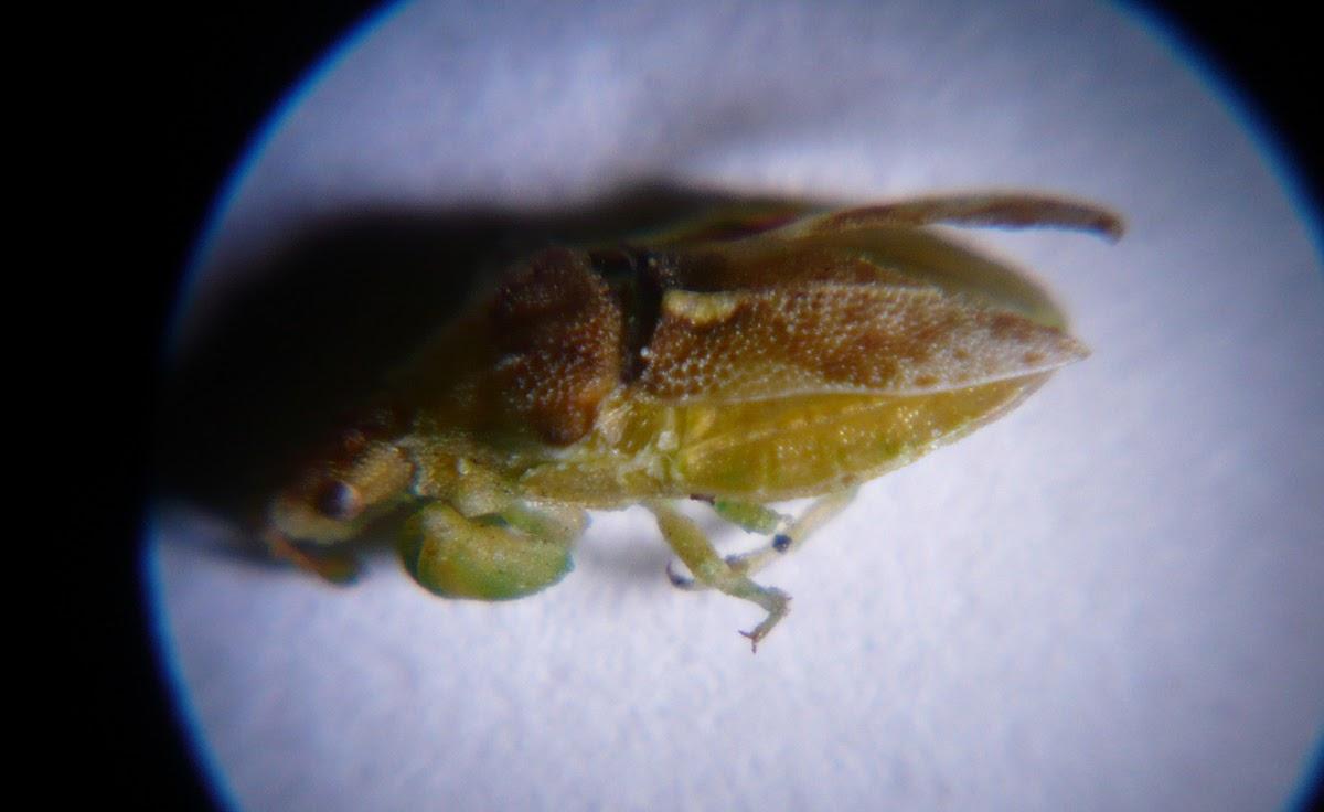 Ambushbug