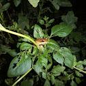 Common Tree Frog