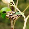 Chrysomelidae (Eucalyptus) beetle Larvae