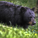 American black bear (captive)
