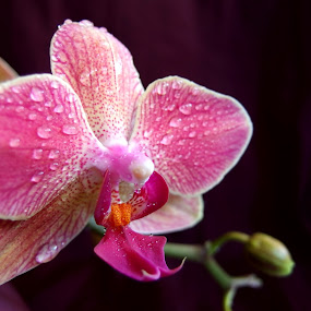 Kissed by the rain by Pipia Kanjeva - Flowers Single Flower ( #orchid #rain #waterdrop #blossom #dew #flower,  )