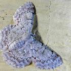 The White Lopper Moth