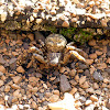 Bark Crab Spider