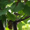 Eurasian Tree Sparrow, Maya