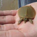 Eastern Spiny Soft Shell Turtle