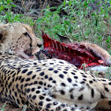 Cheetah on a fresh kill