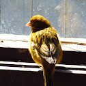 Feral Canary