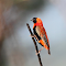 Red Bishop Hekpoort_3748.JPG