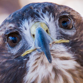 Hawkish Stare by Kyle Kephart - Animals Birds ( bird, detail, red, stare, beak, funny, wildlife, cute, deep, tailed, animal, close, hawk, Redtal Hawk, Redtail Hawk contest )