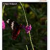Crimson Rose Butterfly Butterfly, Egg & Pupa