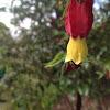 Abutilon Maple Plant