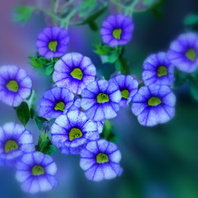 Petunia by Orkidea W. - Flowers Flowers in the Wild ( macro, blue, orkidea, petunia, nikon, flowers, photography, blossom,  )