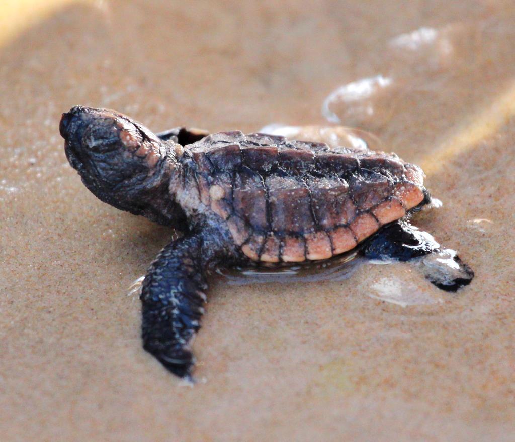 Loggerhead Turtle (baby)