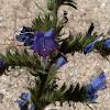 Viborera / Viper's Bugloss