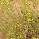 Broom Snakeweed
