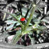 Western Blood Red Lady Beetle