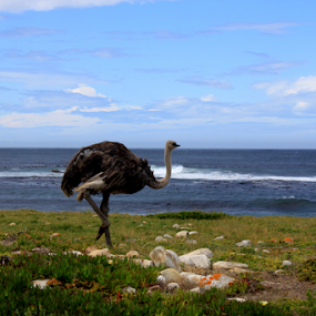 Ostrich by Leanne Oosthuizen - Animals Birds ( pose, ostrich, waves, sea, big, feathers, birds )