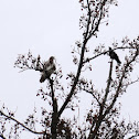 Red-tailed Hawk (Mobbed by Crows)