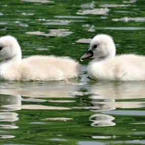 two babies by Dubravka Bednaršek - Animals Birds (  )