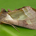 Green-patched Looper Moth