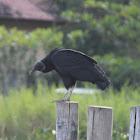 vulture; urubu; buitre