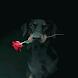 Doberman Rose Live Wallpaper