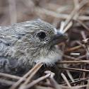 House finch (juvenile)