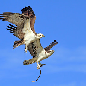 A Flighty Pair by Steve Shelasky - Animals Birds ( flight, naples, fl, pair, fly, ospreys, nest, pandion haliaetus, mates, bird )