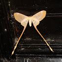 Eudaemonia sp.