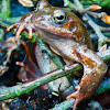 European Common Frog Rana temporaria.