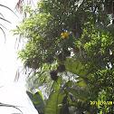 Baglafecht Weaver Nests