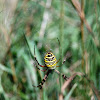 black and yellow orb spider