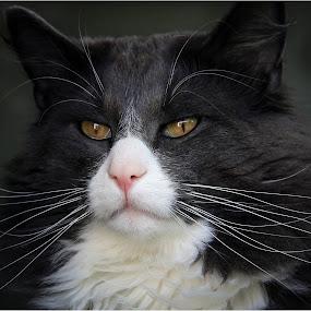 Kenzo by Dusan Vukovic - Animals - Cats Portraits