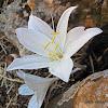 Cretan White