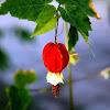 Flowering Maple or Trailing Abutilon