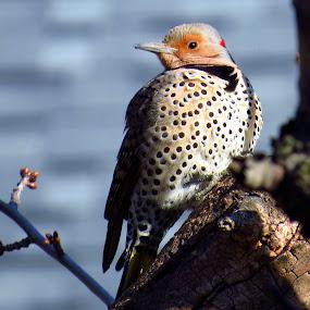 Male Northern Flicker by Patti Hobbs - Animals Birds ( animals birds male northern flicker )