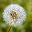 Nature Puzzle: Taraxacum icon
