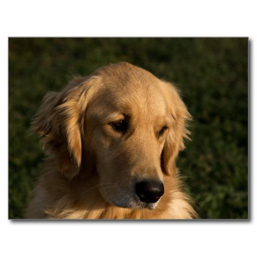 個人化必備App|Golden Retriever Dog Wallpaper LOGO-綠色工廠好玩App