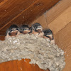 Barn Swallow & nestlings