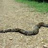 Bos constrictor