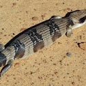 Western Blue-tongued Skink