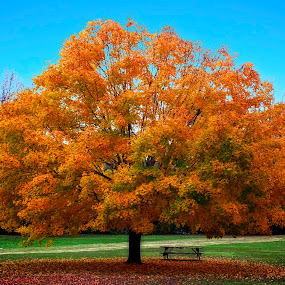 November Maple by Hugh Hazelrigg - Nature Up Close Trees & Bushes ( fall leaves on ground, fall leaves, tree, park, nature, colorful, color, blue, autumn, fall, orange. color, leaves,  )