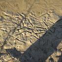 Duck Footprints