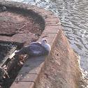 Pato criollo /Muscovy duck