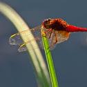 Anisoptera - Egyenlőtlen szárnyú szitakötő