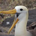 Waved albatross (adult)