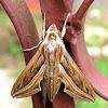 Vine Hawk-Moth