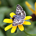Desert Checkered Skipper