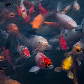 wait for feeding... by Happy Sugianto - Animals Fish ( colorful, fish, feeding, koi, china )