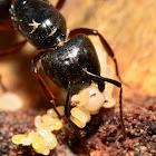 Eastern Black Carpenter Ant
